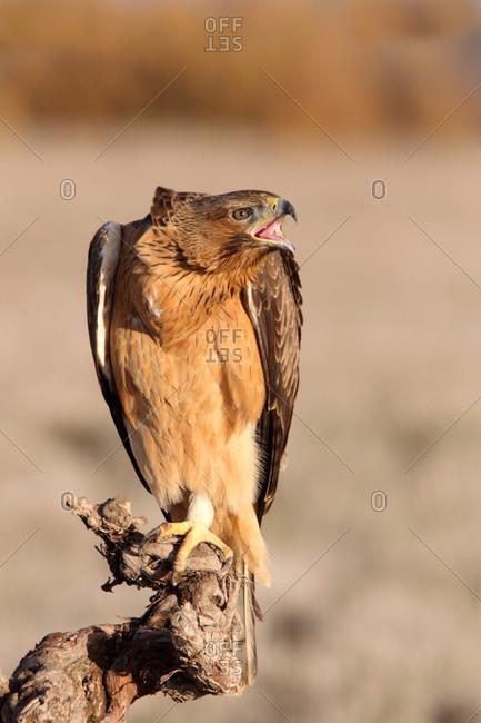 One years old female of Bonelli´s Eagle, Aquila fasciata