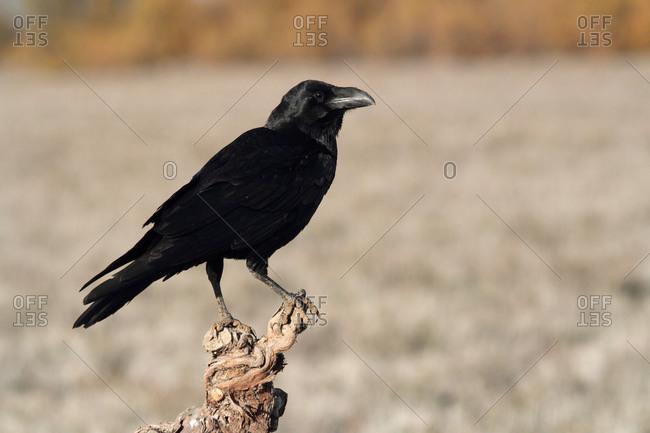 Adult male of Common raven, Corvus corax