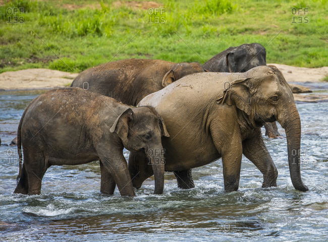 Elephants walking through river in Pinnawala / Sri Lanka