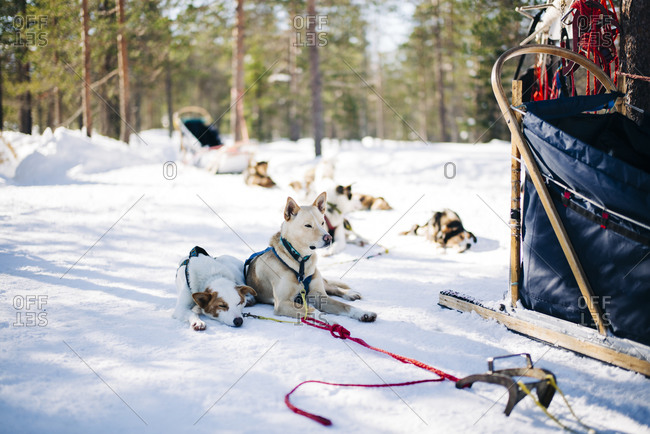 Two sled dogs resting near sleigh