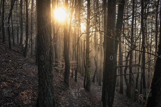 Sun shining through pine forest- Hauenstein- Rhineland-Palatinate- Germany