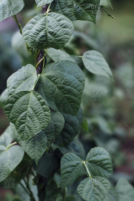 Green beans growing in garden