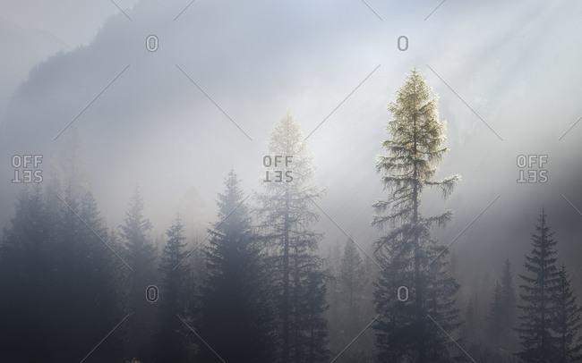 Larches wrapped in fog with the peaks hit by the morning sun, dolomites, Trentino Alto Adige, Italy, Europe