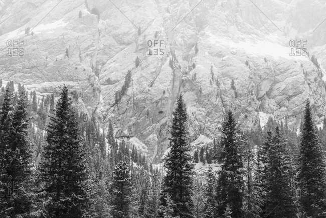 Fir trees and in the background the wall of the Piz Ciavazes with snow, Sella mountain group, dolomites, Trentino Alto Adige, Italy, Europe