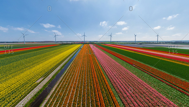 Panoramic aerial view of a tulip field in The country of tulips, Holland