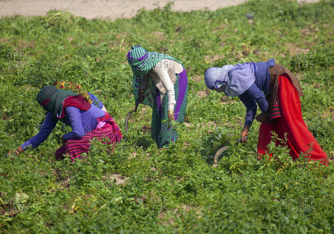 Female farmworkers cutting grass for cows in New Delhi, India
