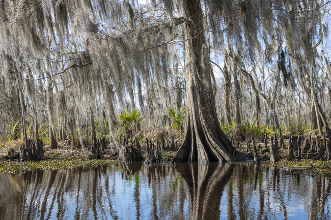 Beautiful cypress trees in Manchac Swamp near New Orleans.