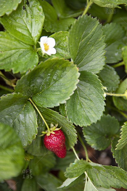 Strawberry plant in a garden, close up
