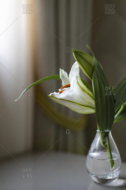 Single lily in glass vase
