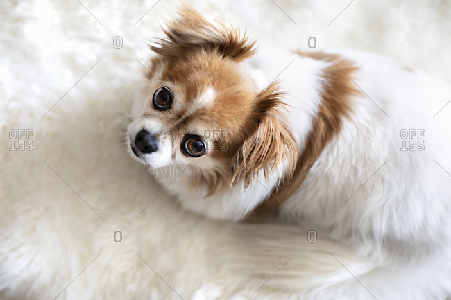 Cute Chillier dog looking up