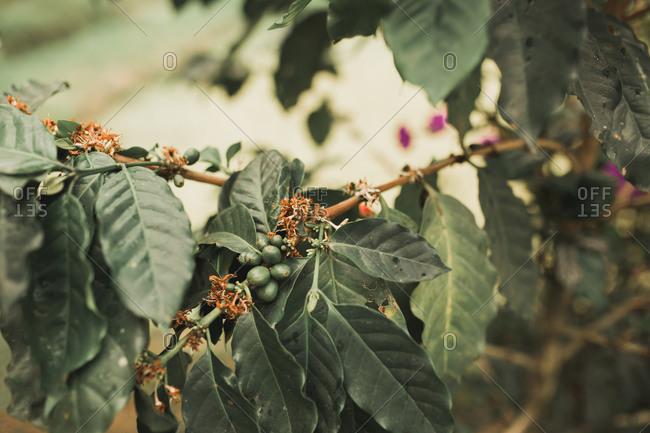 Luwak coffee plant in Bali, Indonesia