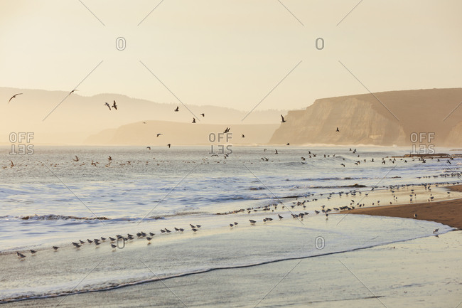 Sandpipers and gulls flying across surf Drakes Beach, Point Reyes National Seashore, California