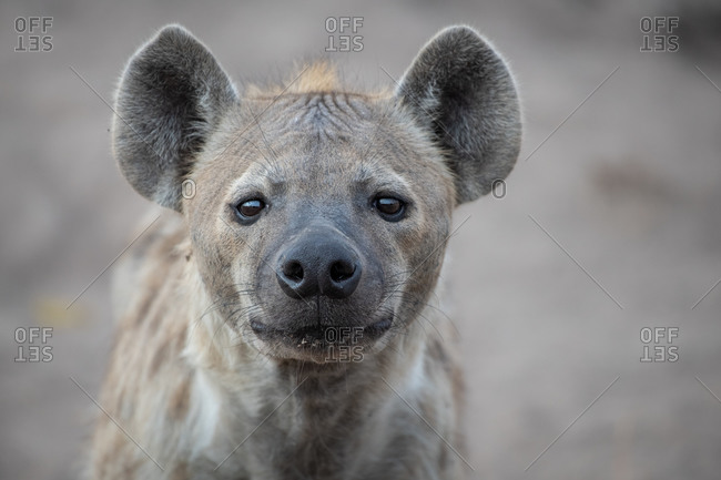 The head of a spotted hyena, Crocuta crocuta, direct gaze, ears forward