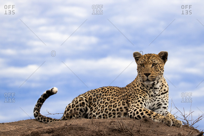 A leopard, Panthera pardus, lies on the top of a termite mound, sky background, looking out of frame