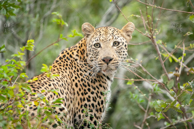 A leopard, Panthera pardus, looks over its shoulder, surrounded by greenery, looking out of frame