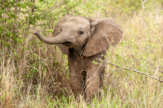 An elephant calf, Loxodonta africana, lifts its trunk while standing in greenery
