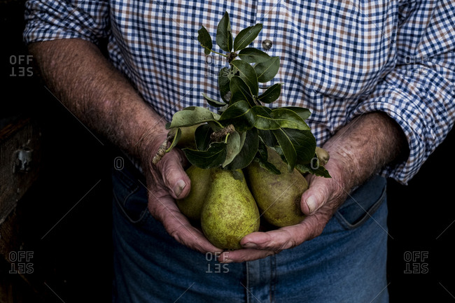 Close up of man holding bunch of green pears.
