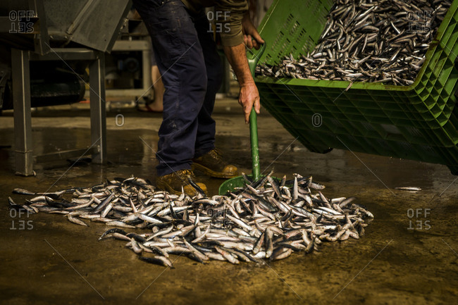 Fishmonger sorting pilchards at a fishery