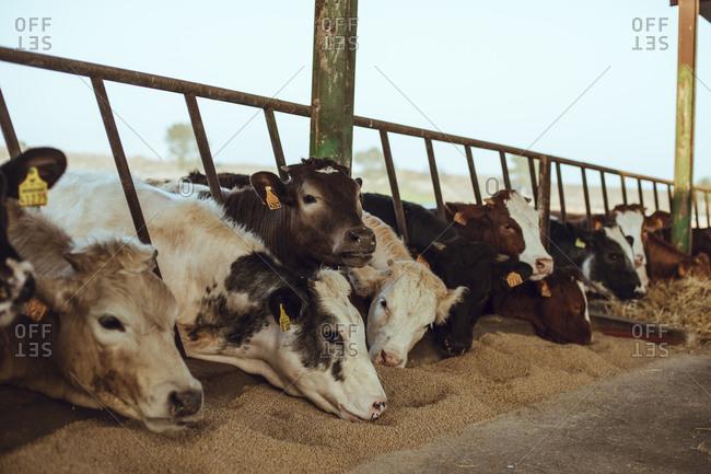 Cows on a farm eating grains