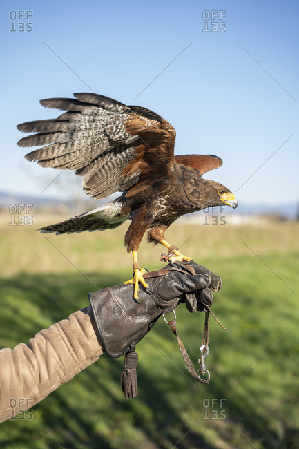 Harris's Hawk flying from a person's hand