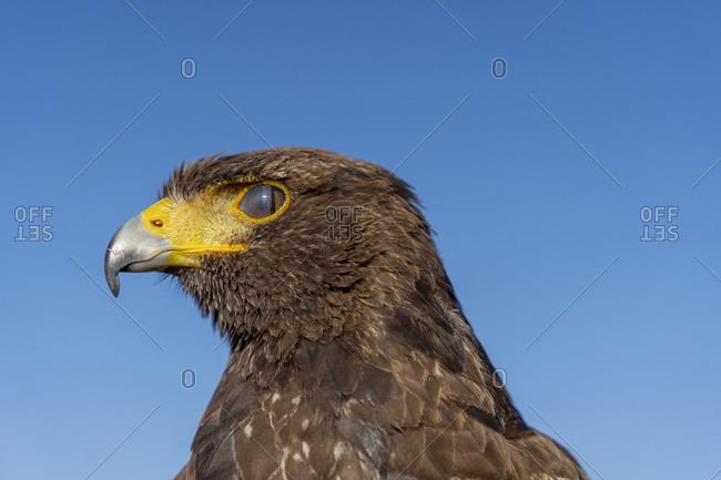 Close up of a Harris's Hawk