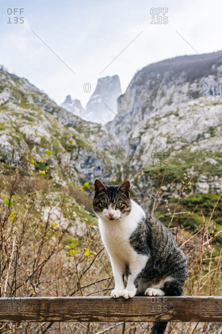 Colorful striped cat on wooden fence looking at camera in village in peaks of Europe, Asturias, Spain