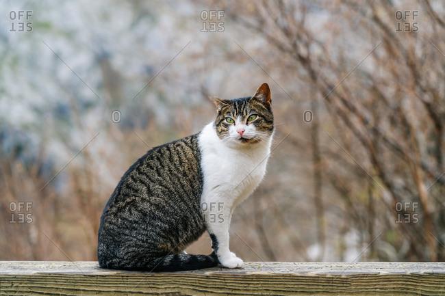 Colorful striped cat on wooden fence looking away in village in peaks of Europe, Asturias, Spain