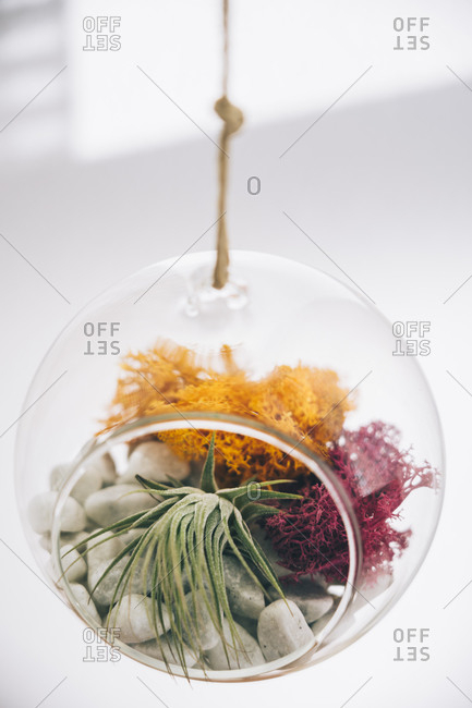 Succulent decorative colorful plants inside hanging spherical transparent glass terrarium in light room
