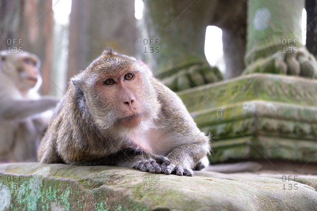 Adorable focused gray monkey lying on stone in religious temple of Angkor Wat in Cambodia