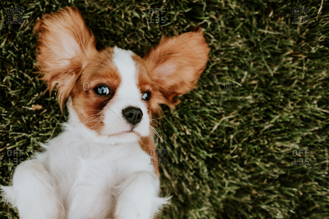Bird's eye view of a Cavalier King Charles Spaniel puppy lying on her back in the grass with her large ears spread out above her head