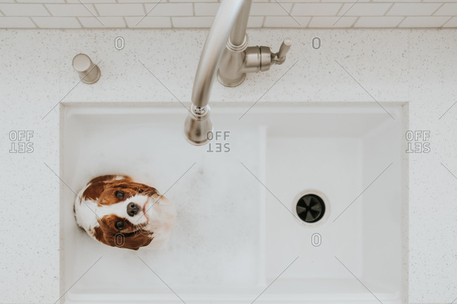 Overhead view of a wet Cavalier King Charles Spaniel puppy looking up from a large farmhouse kitchen sink