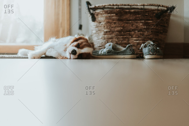 Sleeping Cavalier King Charles puppy next to a large window