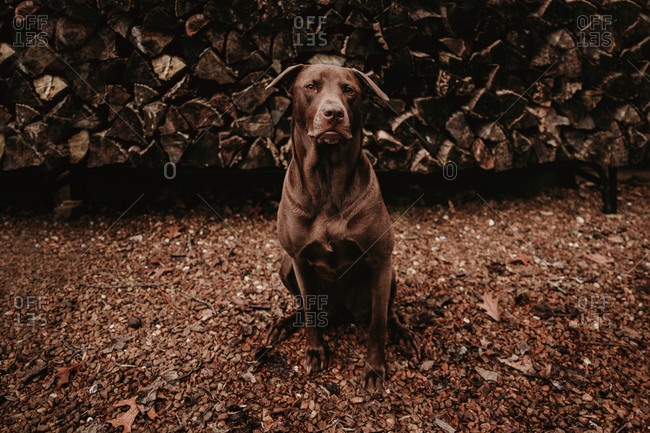 Portrait of a serious dog sitting in front of a pile of chopped wood