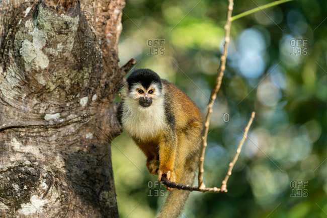 Squirrel monkey balancing on a tree branch in the jungle