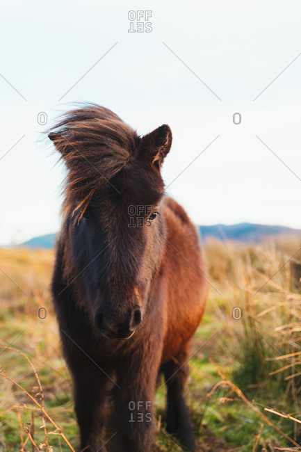 Portrait of beautiful small horse grazing in a meadow on a windy day in the Basque Country