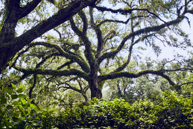 Live oak trees of Eden Gardens state park