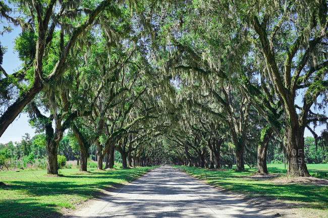 Spanish moss hanging over path at the Wormsloe historic site