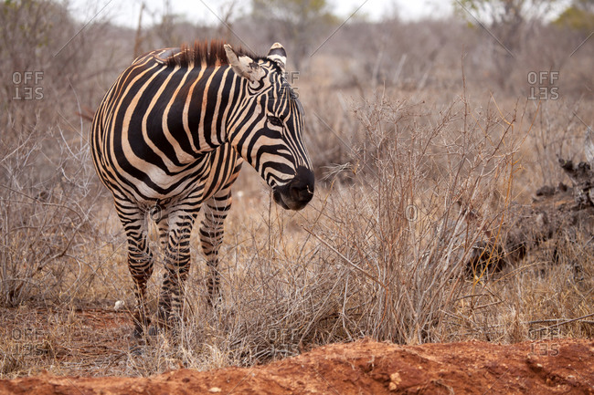 Zebra is standing in the savannah of Kenya