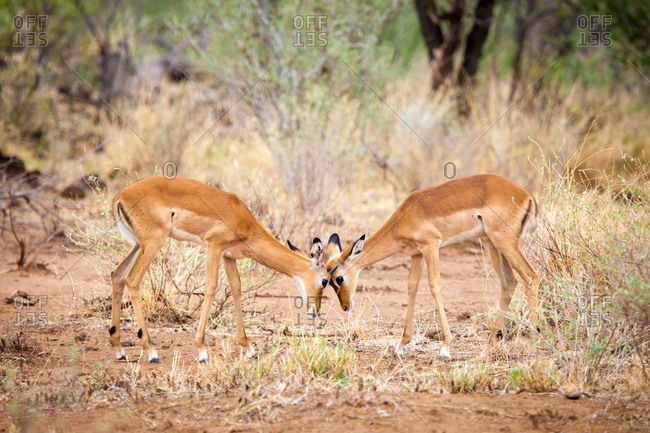 Antelopes is skirmish in the savannah of Kenya