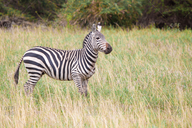 Zebra in the grassland in Kenya, on safari