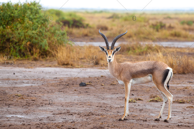Antelope is standing in the savannah of Kenya