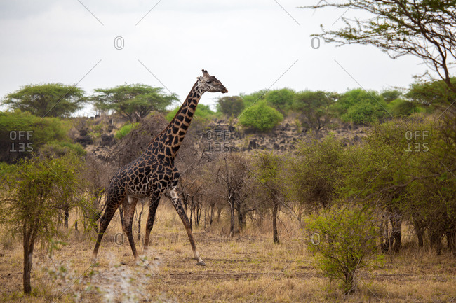 Giraffe is walking between the bush, on safari in Kenya
