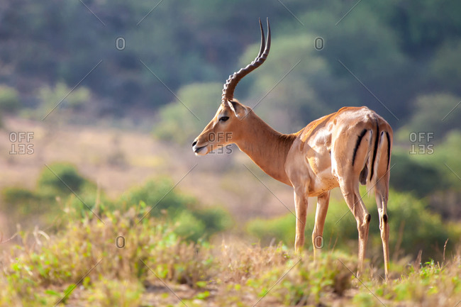 An antelope is standing, safari in Kenya
