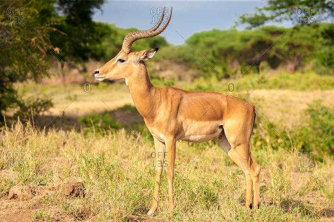 An antelope is standing in the savannah, Kenya