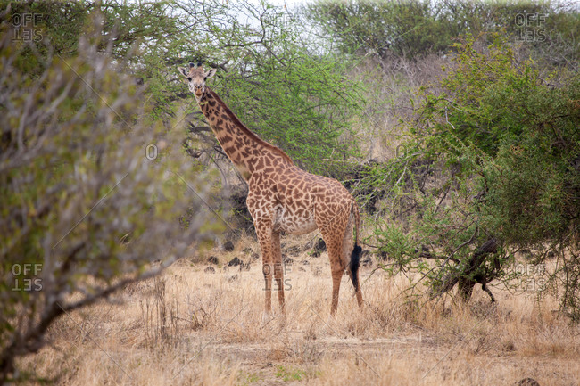 Giraffe standing in the trees and watching