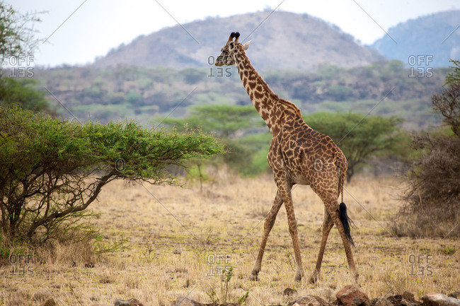 Giraffe is walking between the bushes in the savannah of Kenya