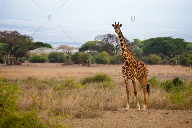 Safari in Kenya, a giraffe is watching in the savannah, blue sky