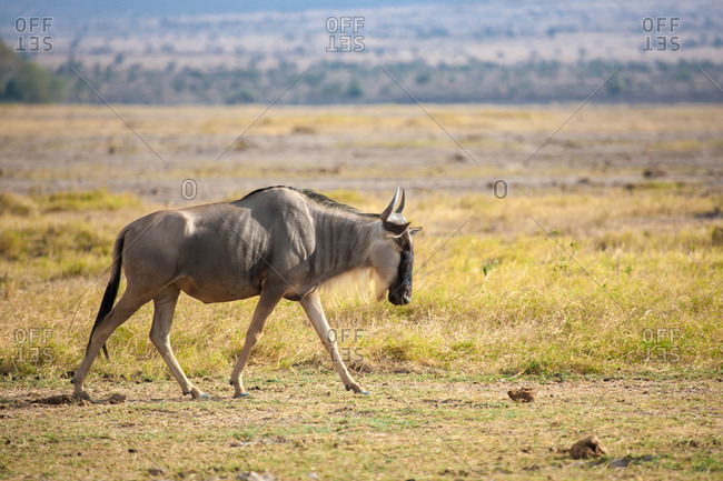 Gnu antelope is walking, on safari in Kenya