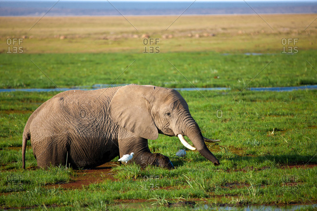 One elephant is standing in the swamp and eating grass, on safari in Kenya