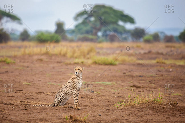 Young gepard is sitting in the savannah, safari in Kenya